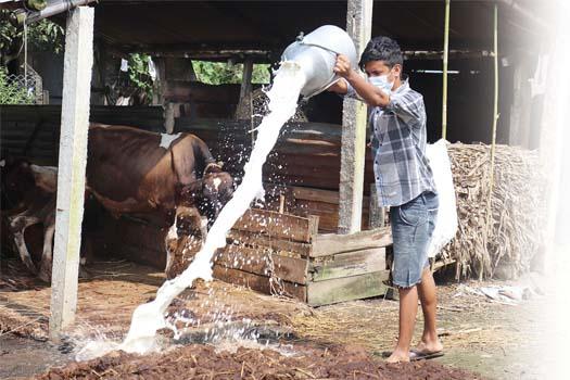 बिक्री नहुँदा दिनदिनै दूध फाल्न बाध्य किसान
